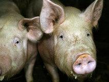 tripas de cerdo para embutidos
